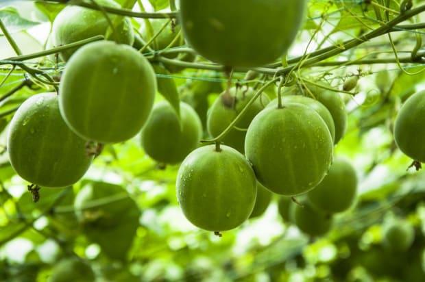 Monk Fruit: Nature's Best Alternative to Sugar - Organic