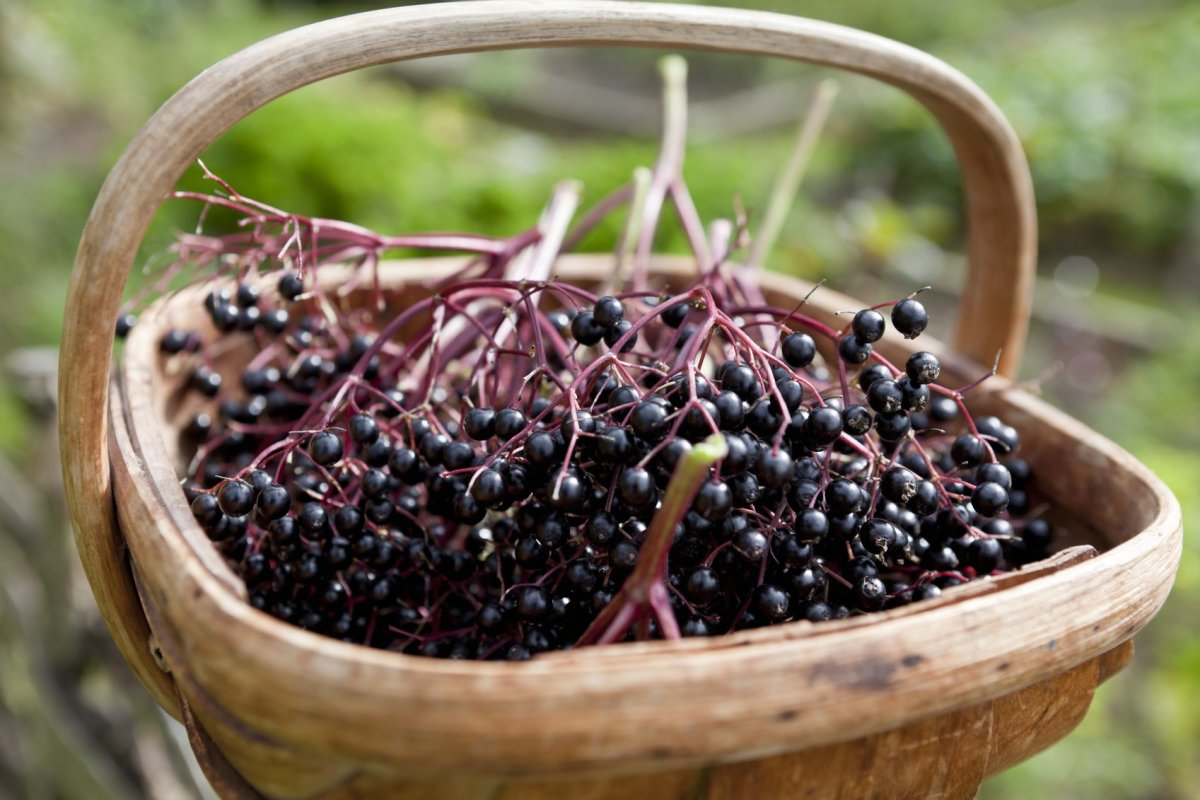 how to use elderberry syrup