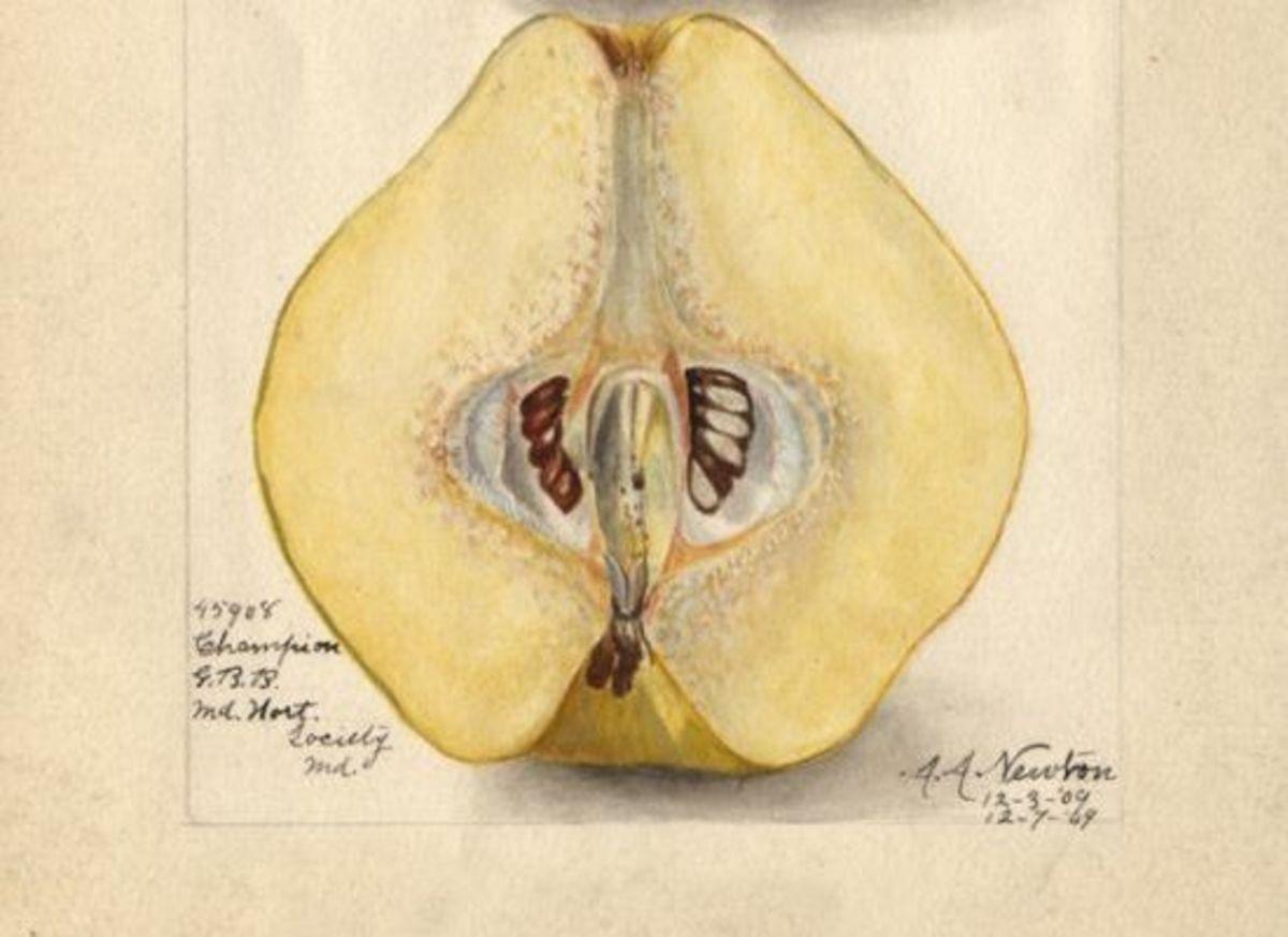 quincefruit-ccgoogle-AmandaA.Newton