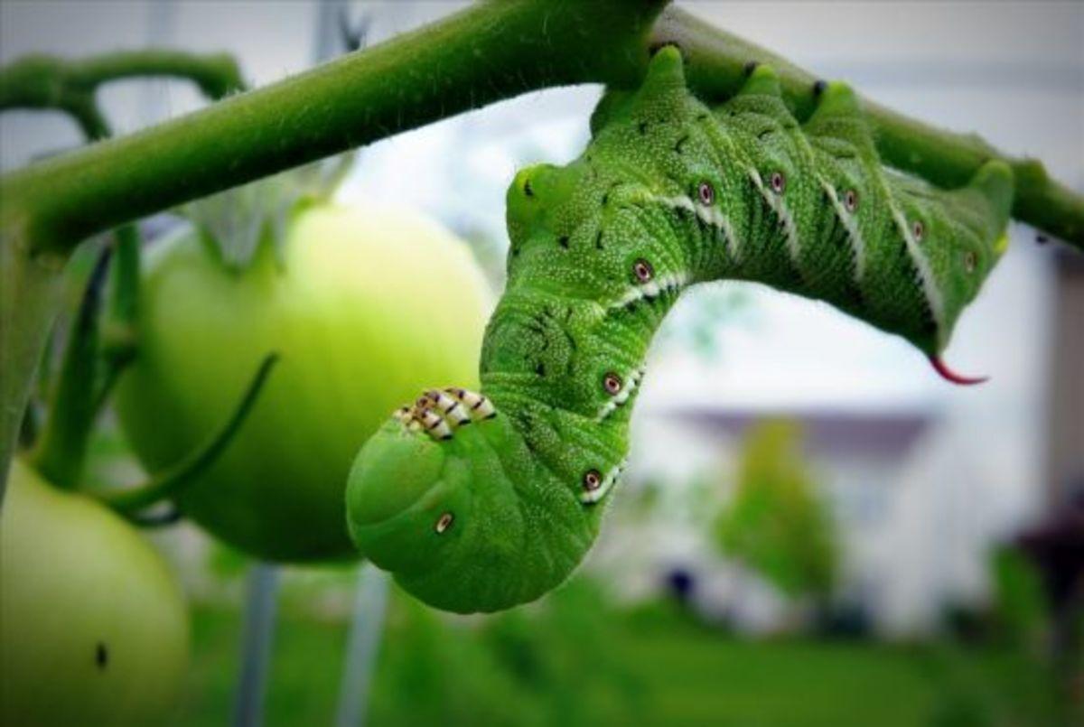 tomatohornworm_cbede_shot