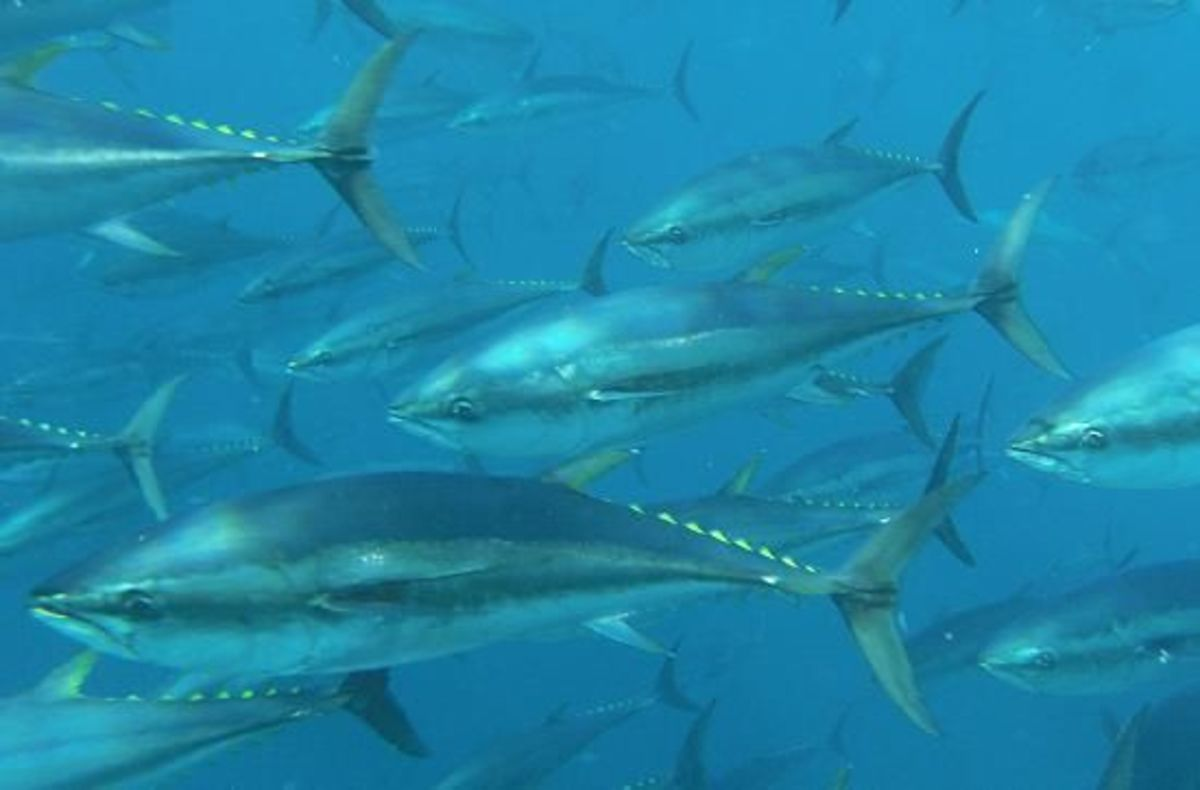 bluefin tuna in the ocean