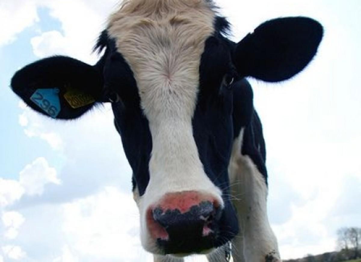 cow-ccfler-law_keven