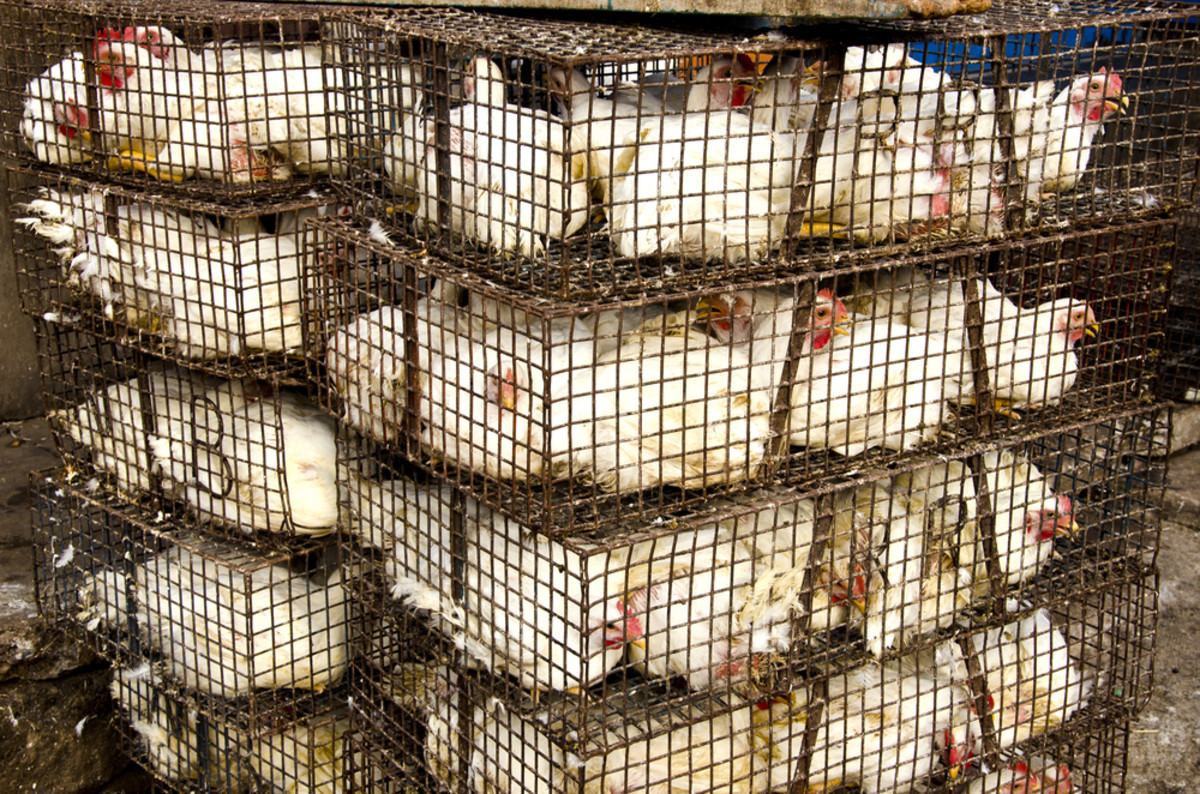 egg-laying chickens are a poster child for animal welfare reform