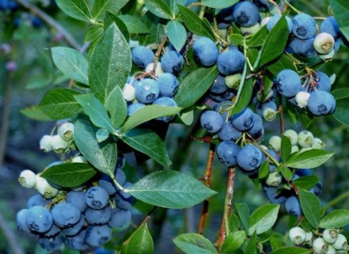 blueberry-vine