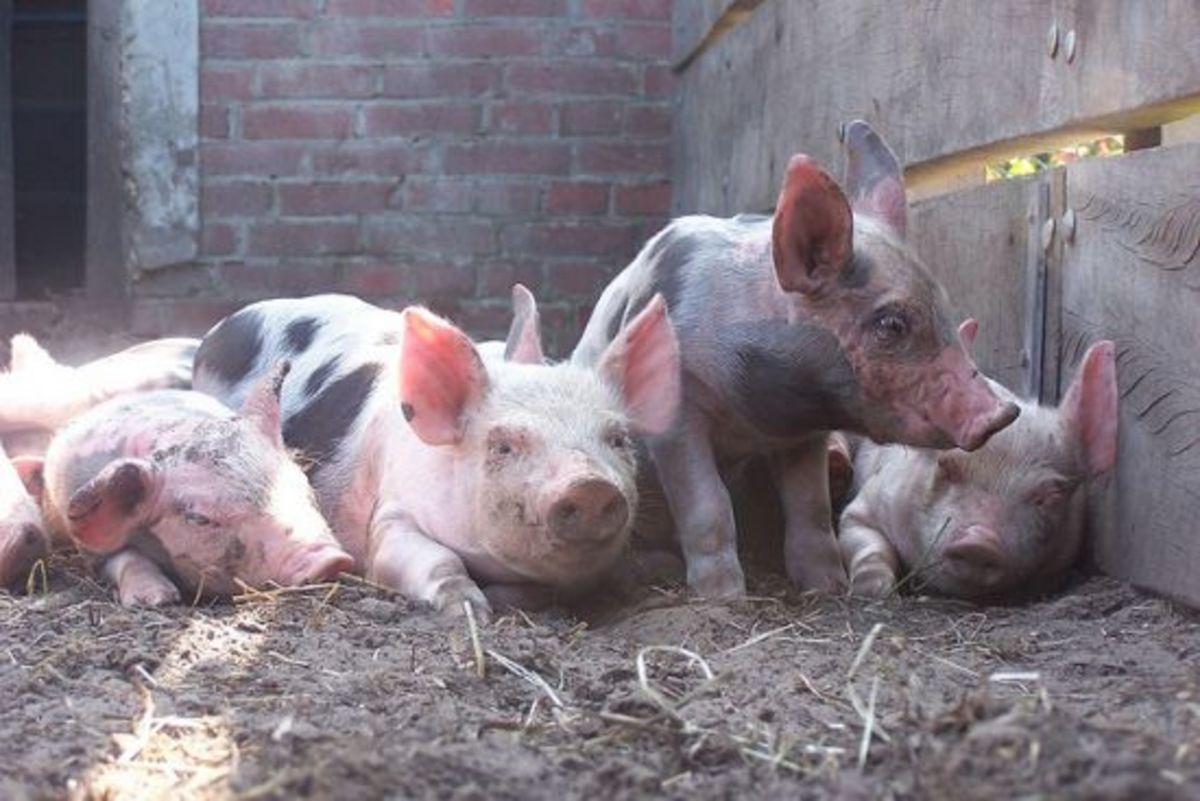 pigs-ccflcr-ynskjen