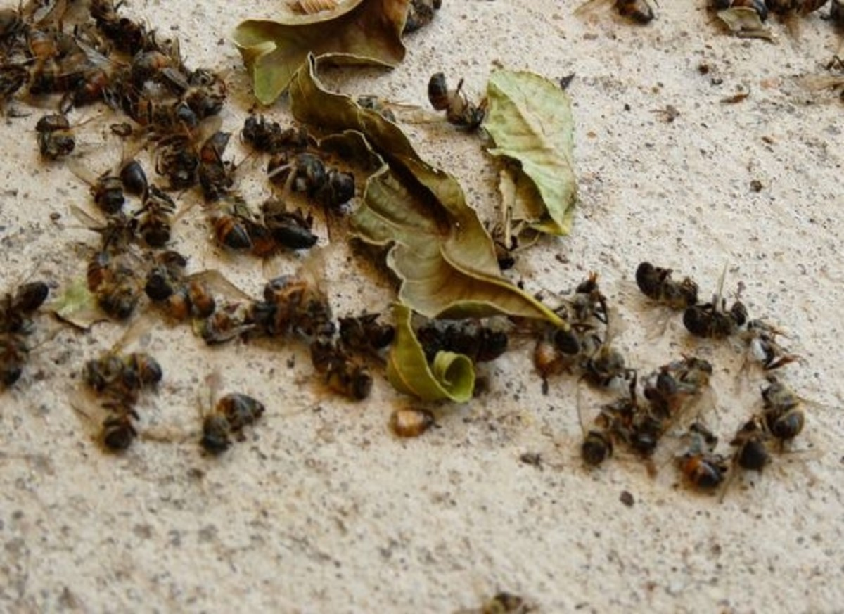pesticides-dead-bees-minnesota-ccfl