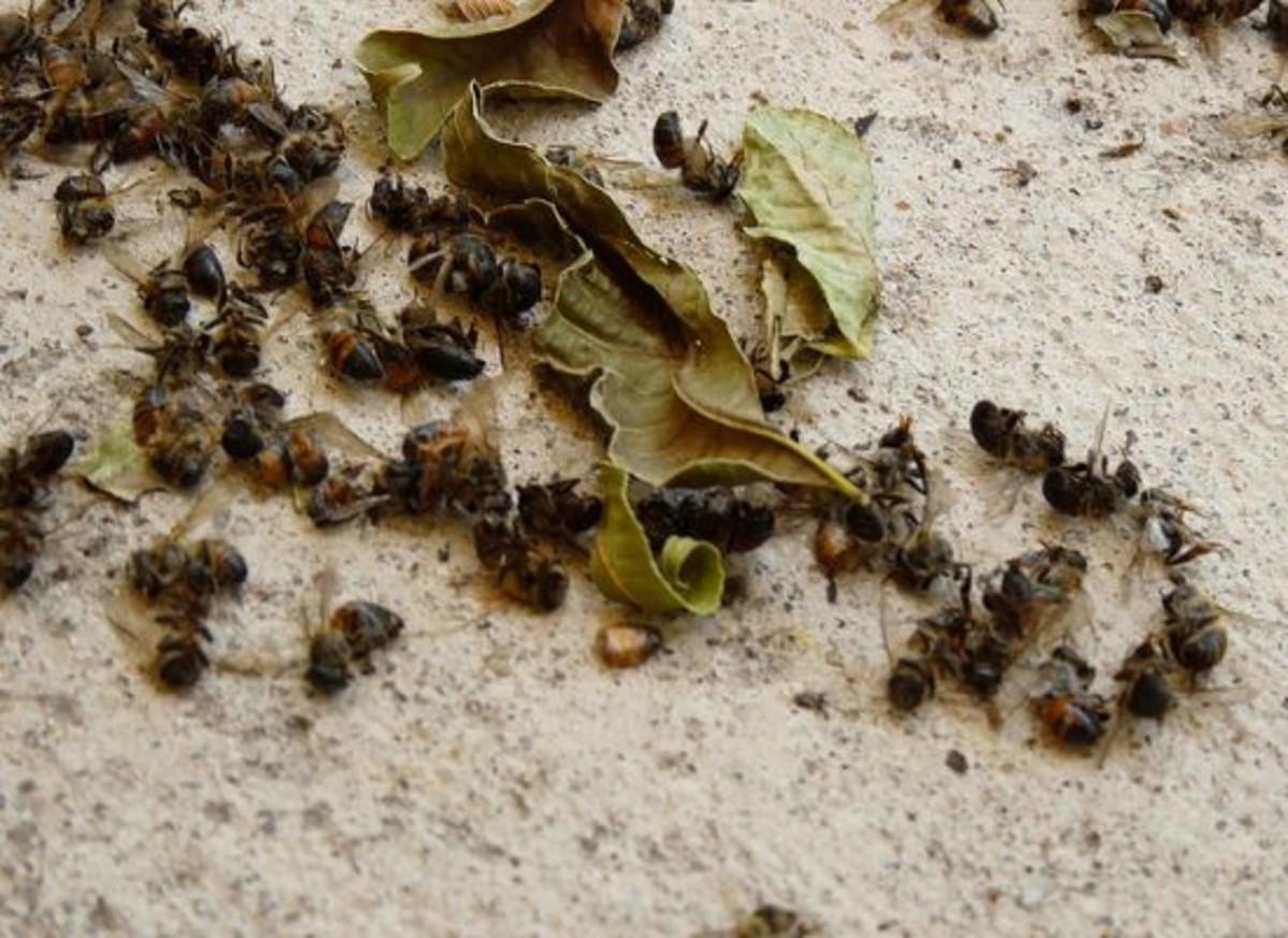 pesticides-dead-bees-minnesota-ccfl