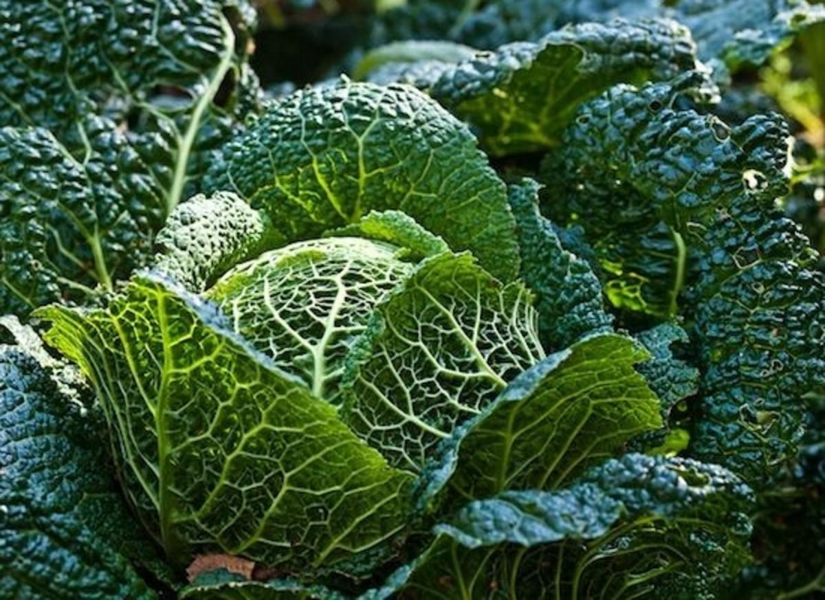 cabbage-ccflcr-wwarby
