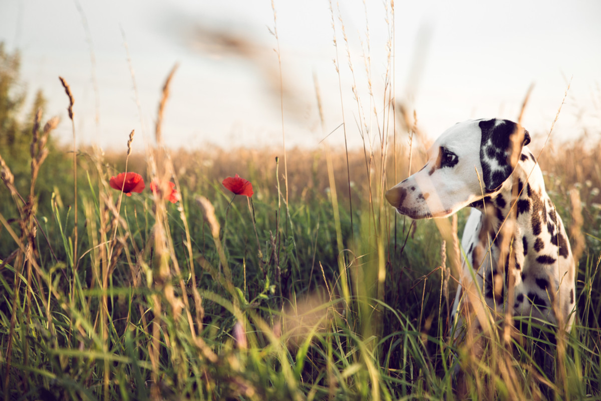 plants harmful to dogs