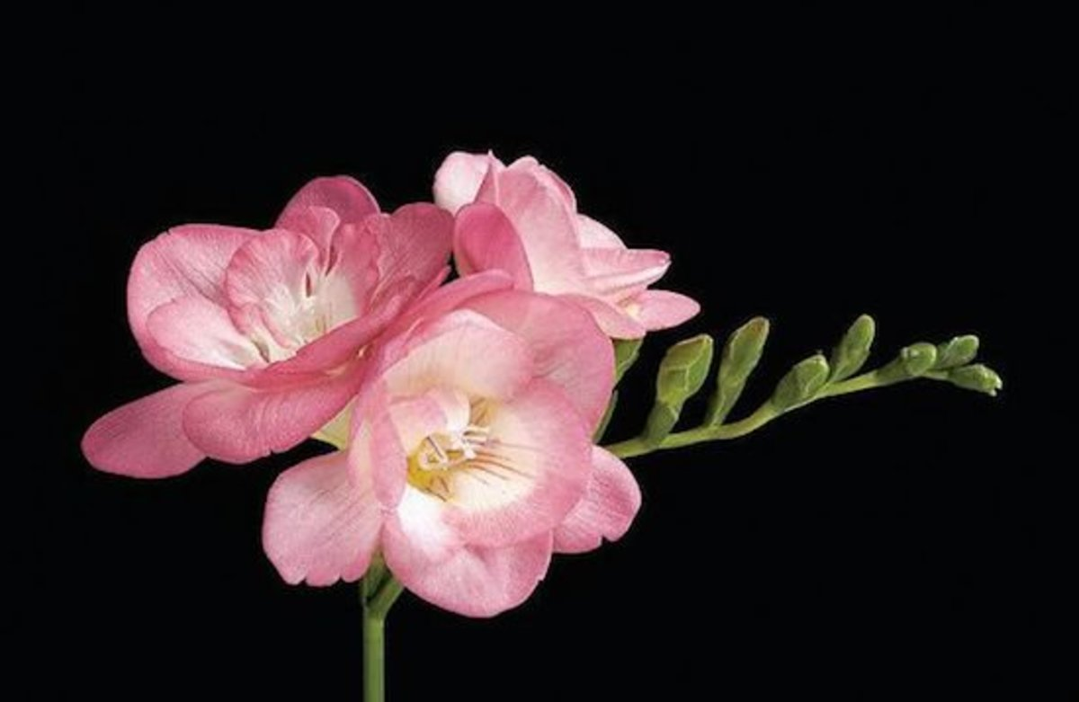 Fantastic Freesia Flowers: 4 Gorgeous Varieties to Plant