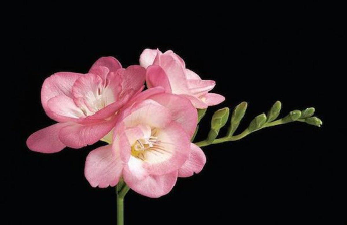 pink fountain freesia
