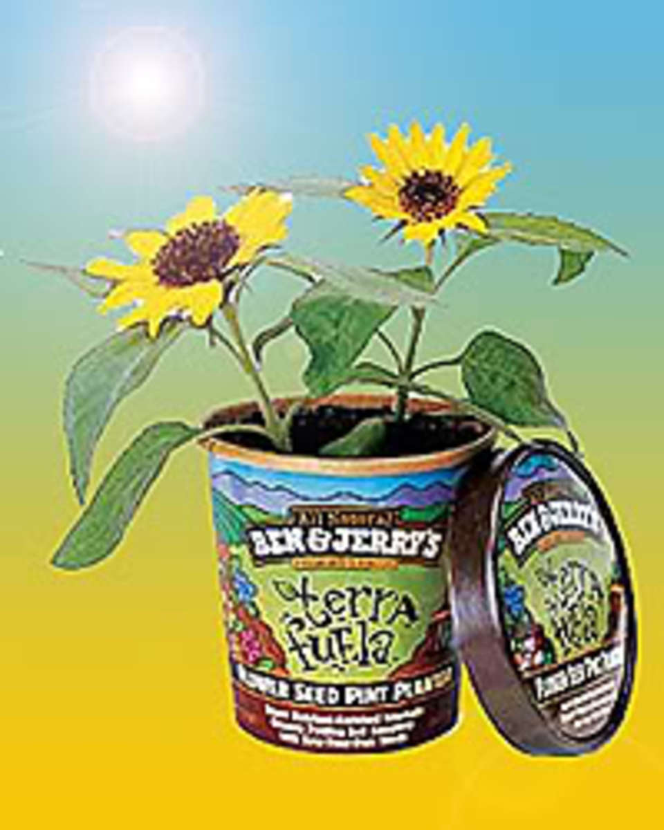 terrafuelasunflowers1