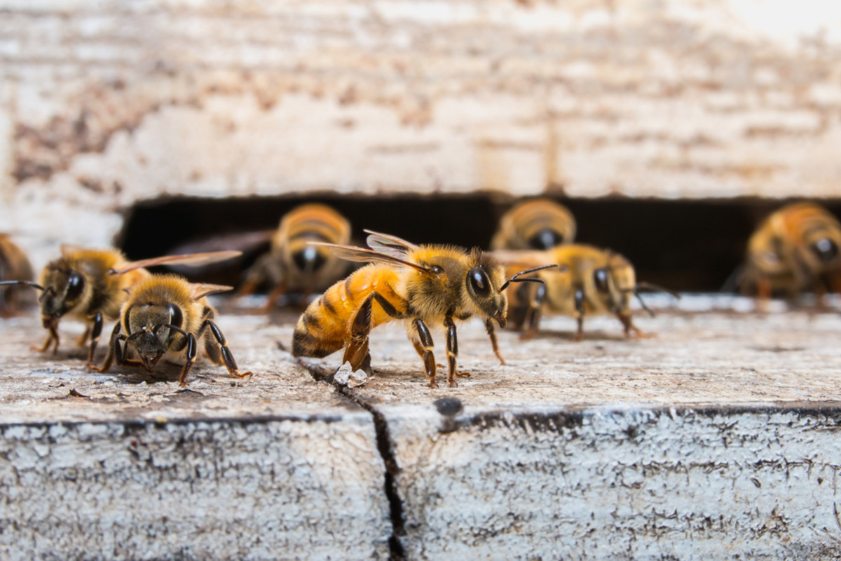 Ortho Nixes Neonicotinoids to Help Save the Bees