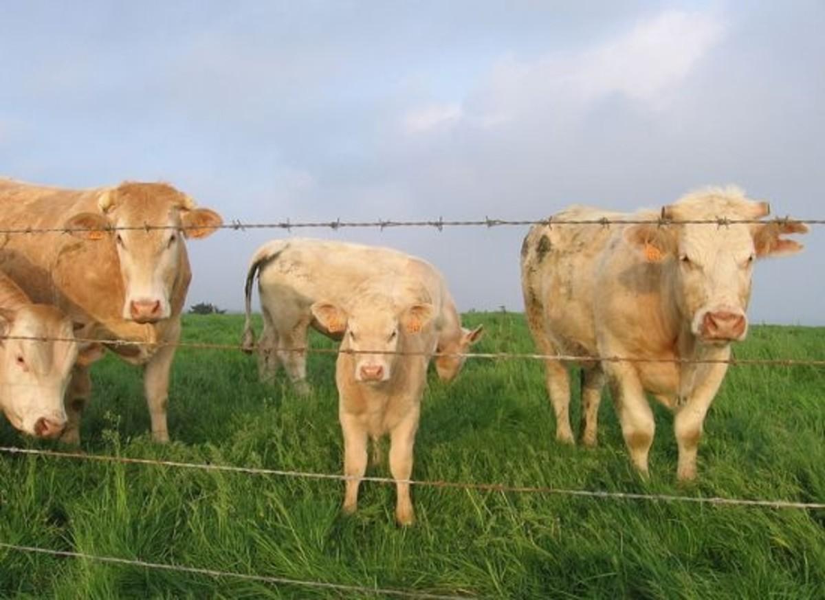 germancows-ccflcr-JelleS