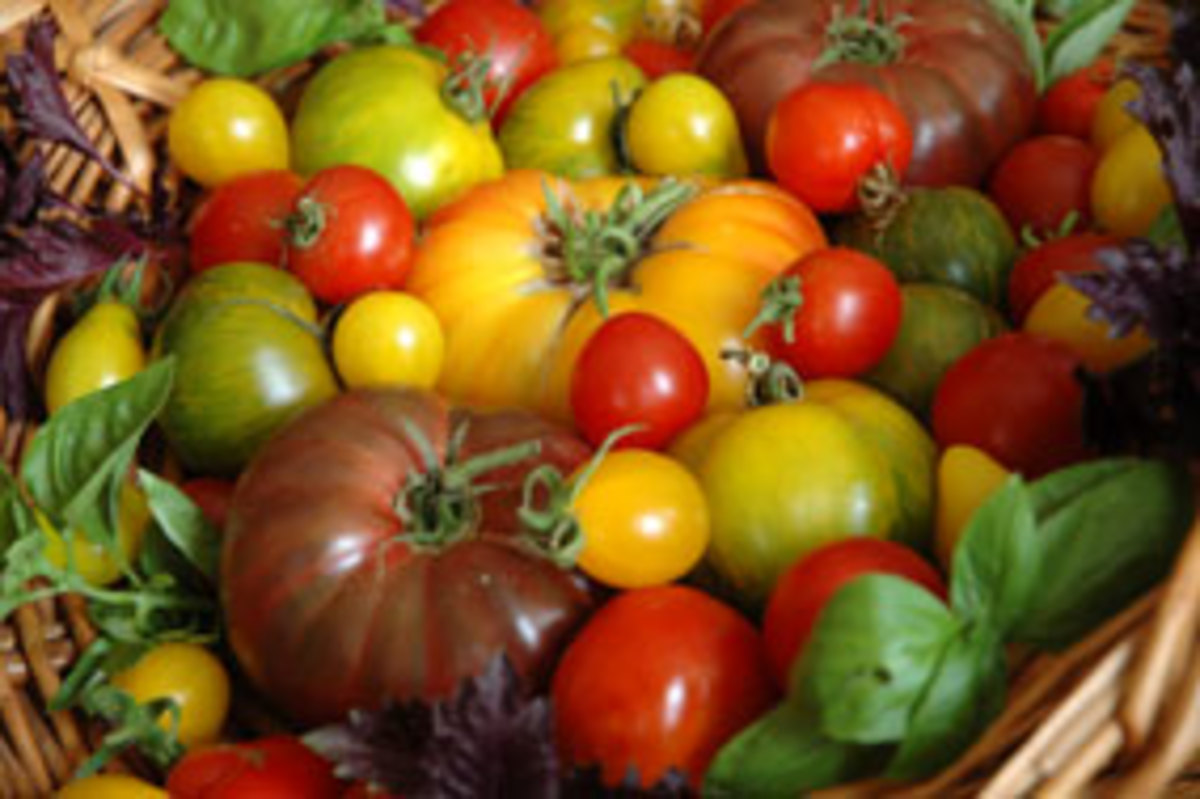 mt_ignore:Basket of garden fresh organic heirloom tomatoes.