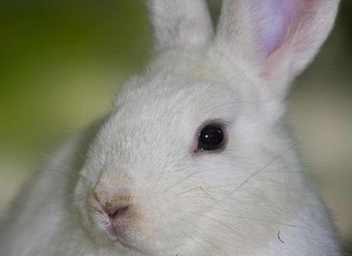 bunny-ccflcr-aussiegall