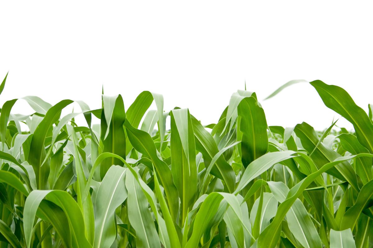 Investigation Finds GMO Crops Show 'No Discernible Advantage'