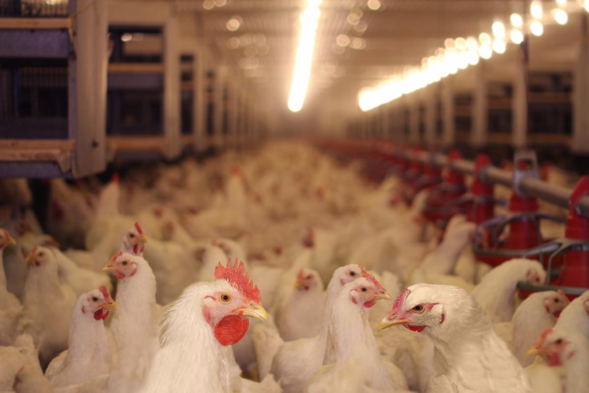 Antibiotics in Asian Livestock Industry Pose Global Health Crisis, Warns New Report Antibiotics in Asian Livestock Industry Pose Global Health Crisis, Warns New Report