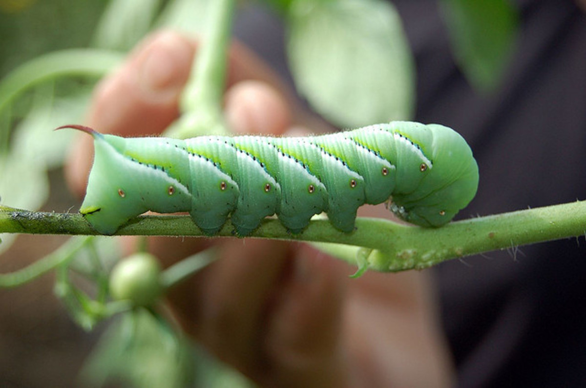 Get rid of these garden pests with organic methods.