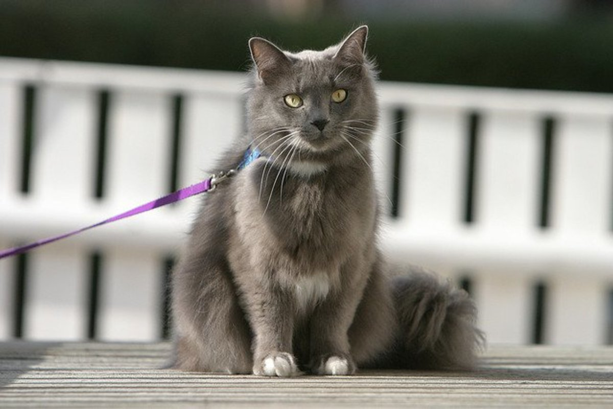 5 practical tips for how to train a cat on a leash. Black Bedroom Furniture Sets. Home Design Ideas