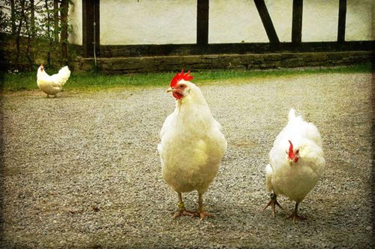 chicken-ccflcr-alicepopkorn