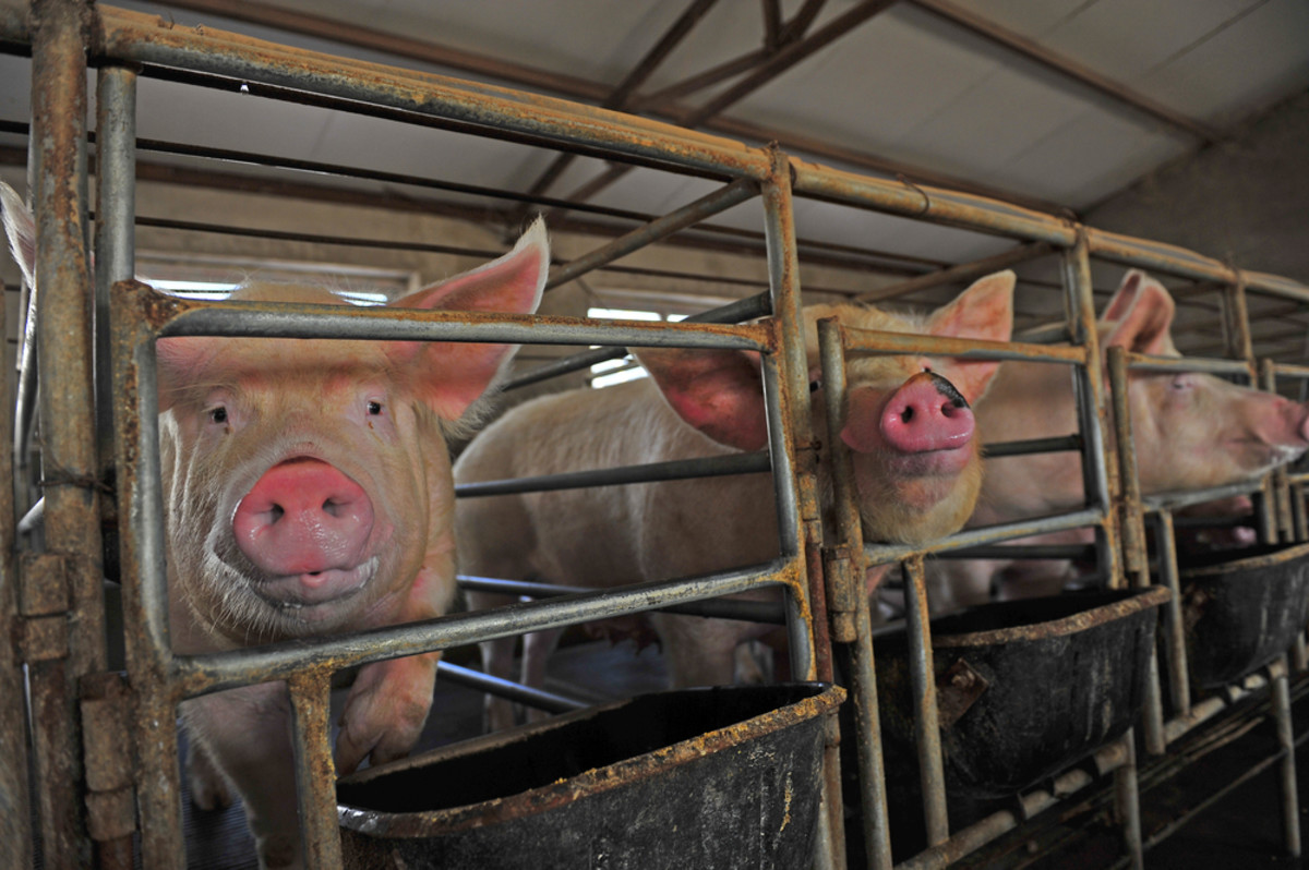 2nd Pig Infected with E. Coli Resistant to Last Resort Antibiotics, Says USDA