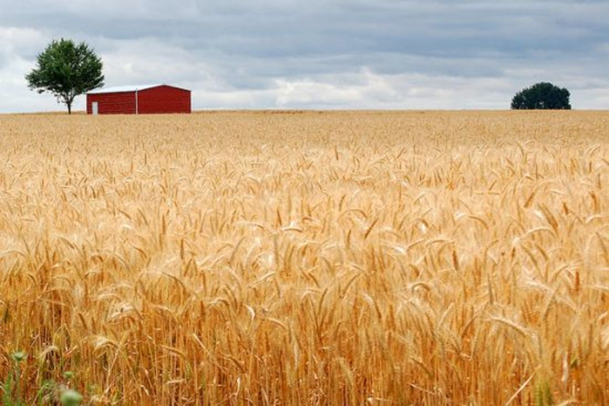 wheat-ccflcr-edmundgarman