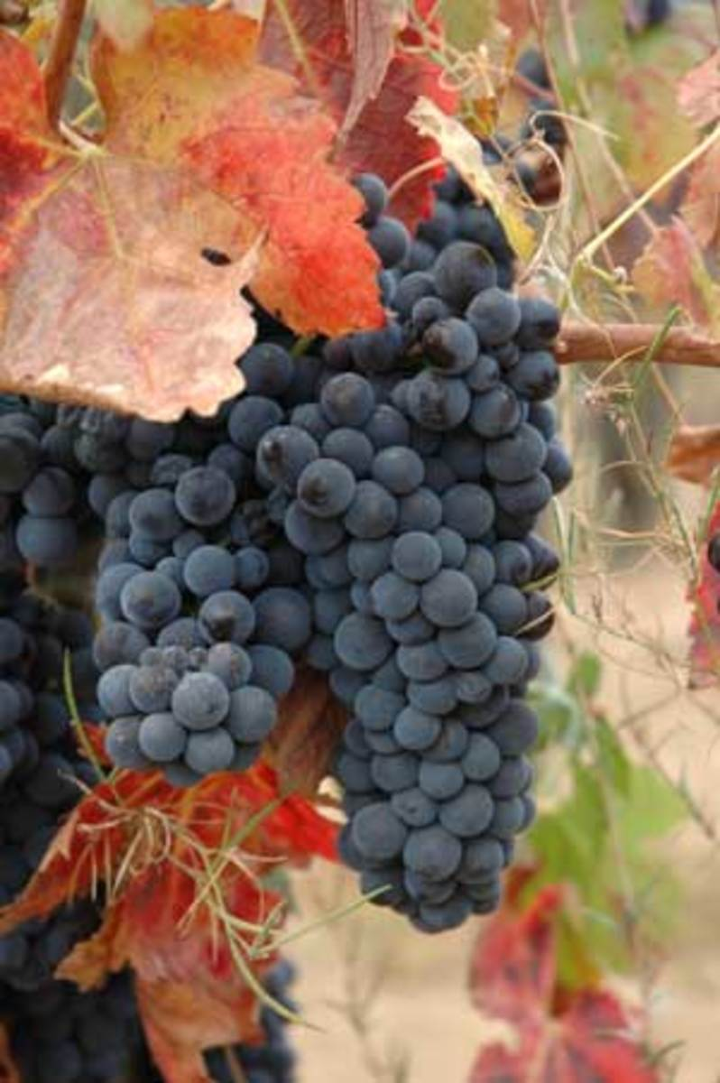 organic-grapes1