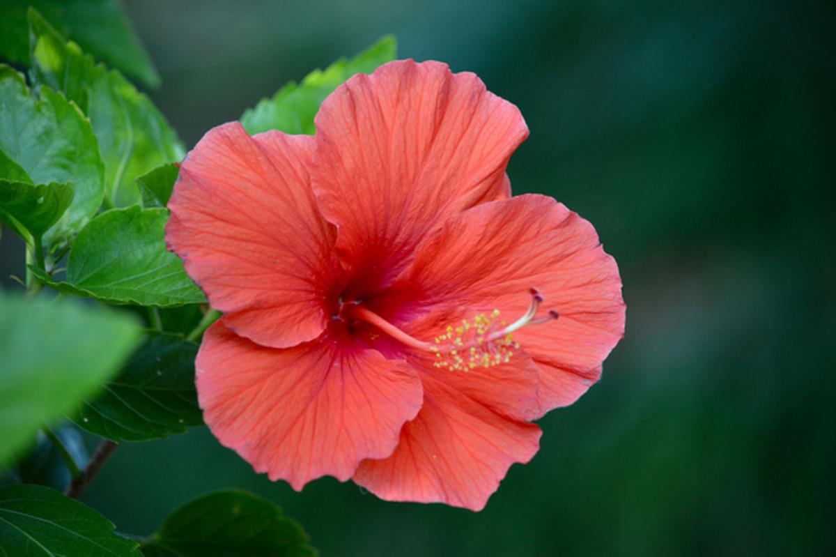 Aloha How To Grow Hibiscus Flowers Outside Of Hawaii Organic