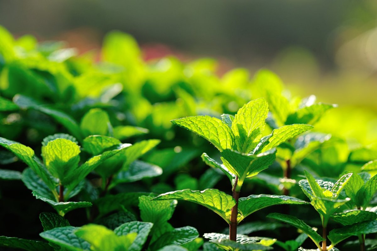 7 Benefits of Peppermint Tea