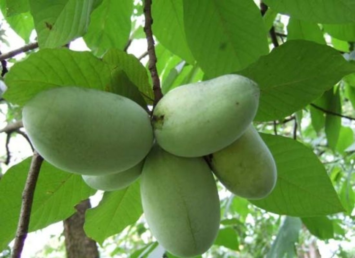 paw paws grow all around the US