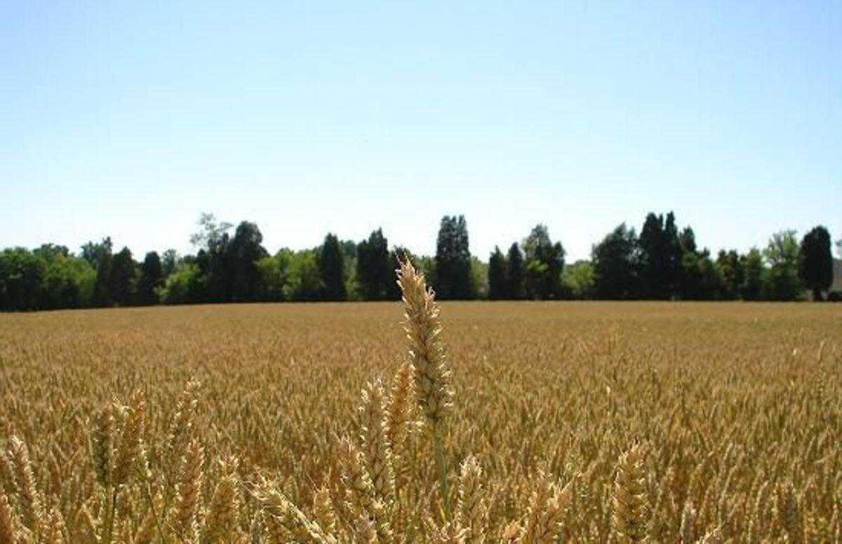WheatFarm