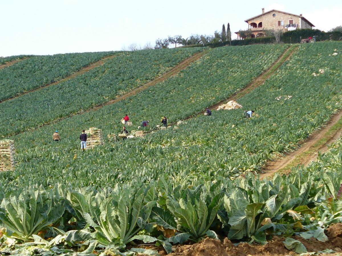 cauliflowerfield