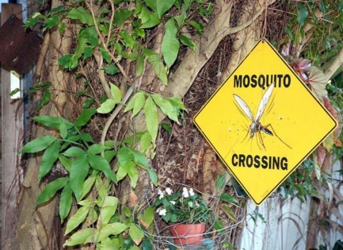 mosquito-ccflcr-cayobo