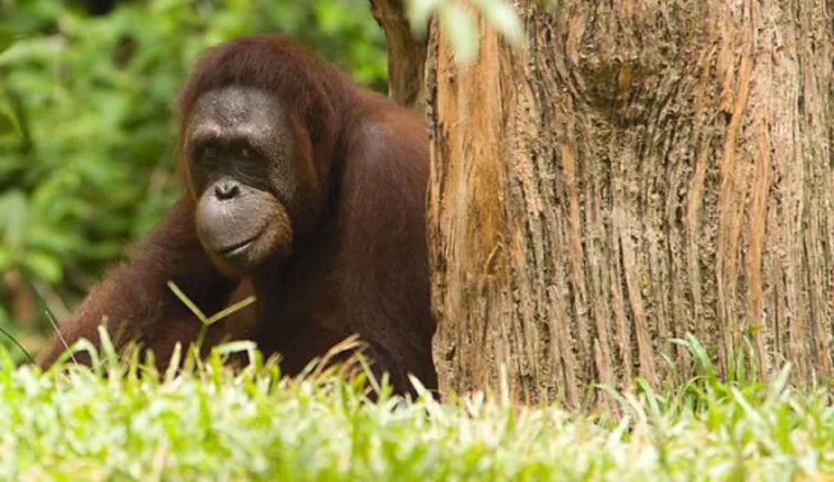 orangutan-ccflcr-chiking