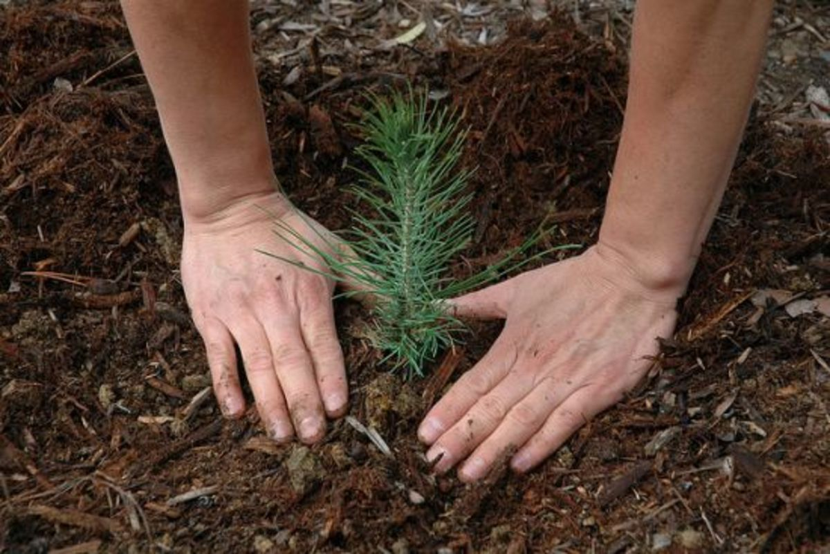 treeseedling-ccflcr-USFSregion5-