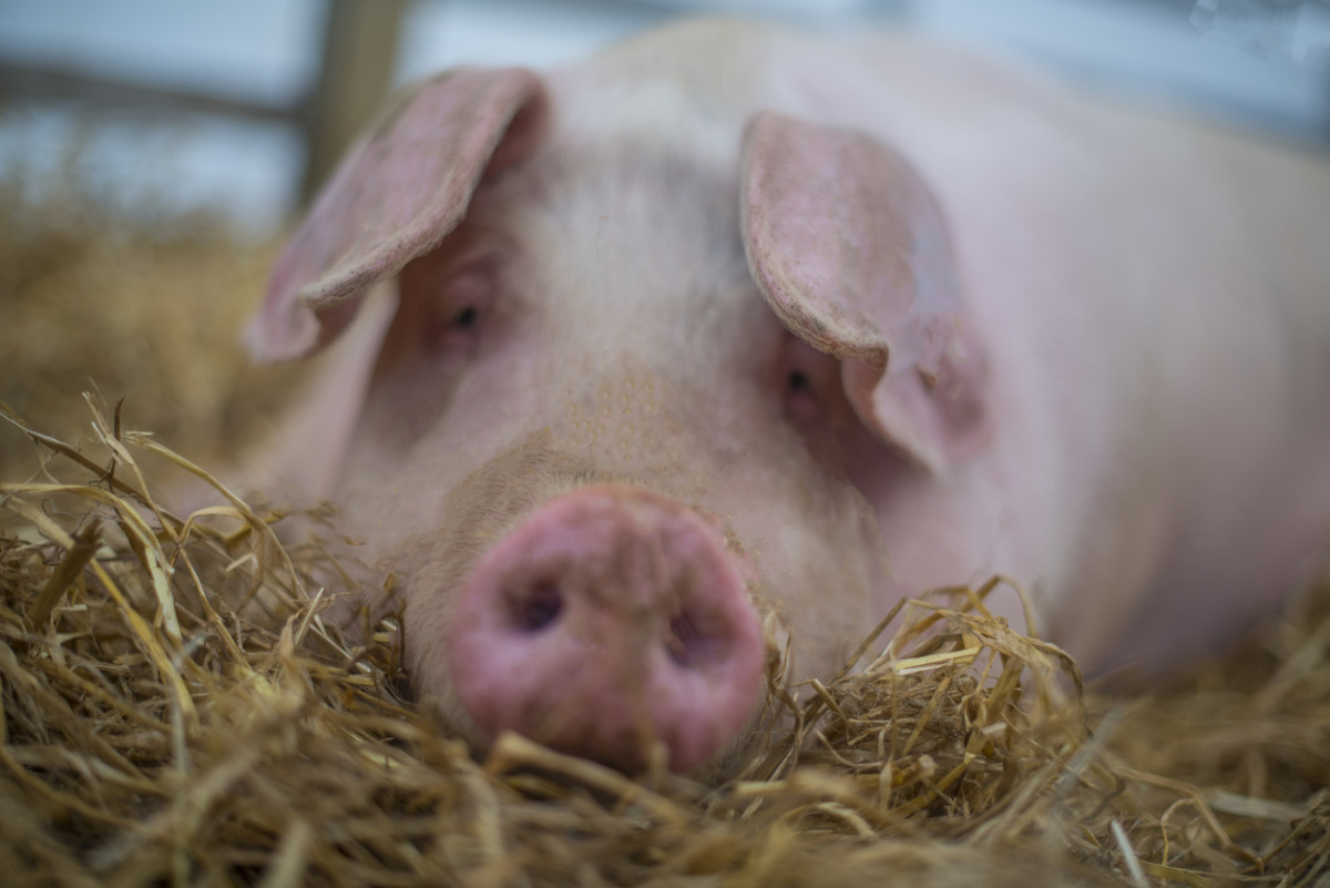 Genetically Engineered 'Double-Muscle' Pigs Surface in Cambodia
