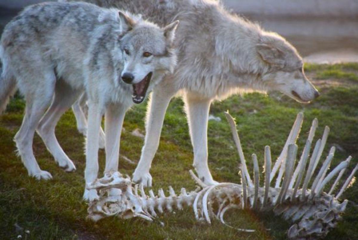 graywolf-ccflcr-jurvetson1