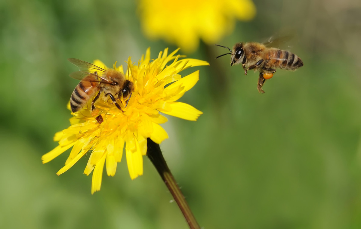 Struggling Honey Bees are Making Poisonous Honey: Pesticide Residue Widespread, Study Finds