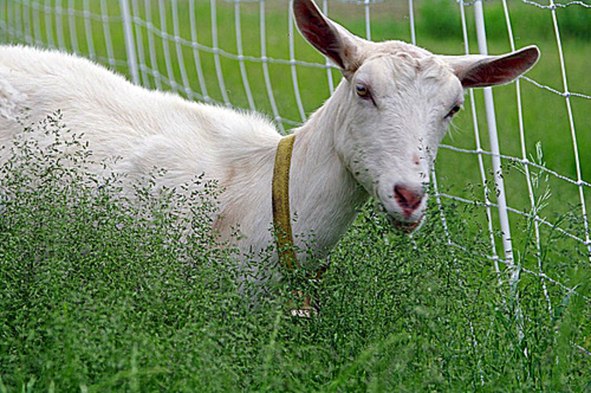 got a goat backyard goats make for eco friendly landscaping