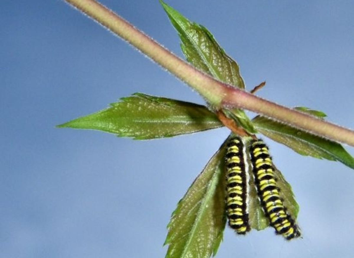 caterpillars_ccflcr-brianas_photography