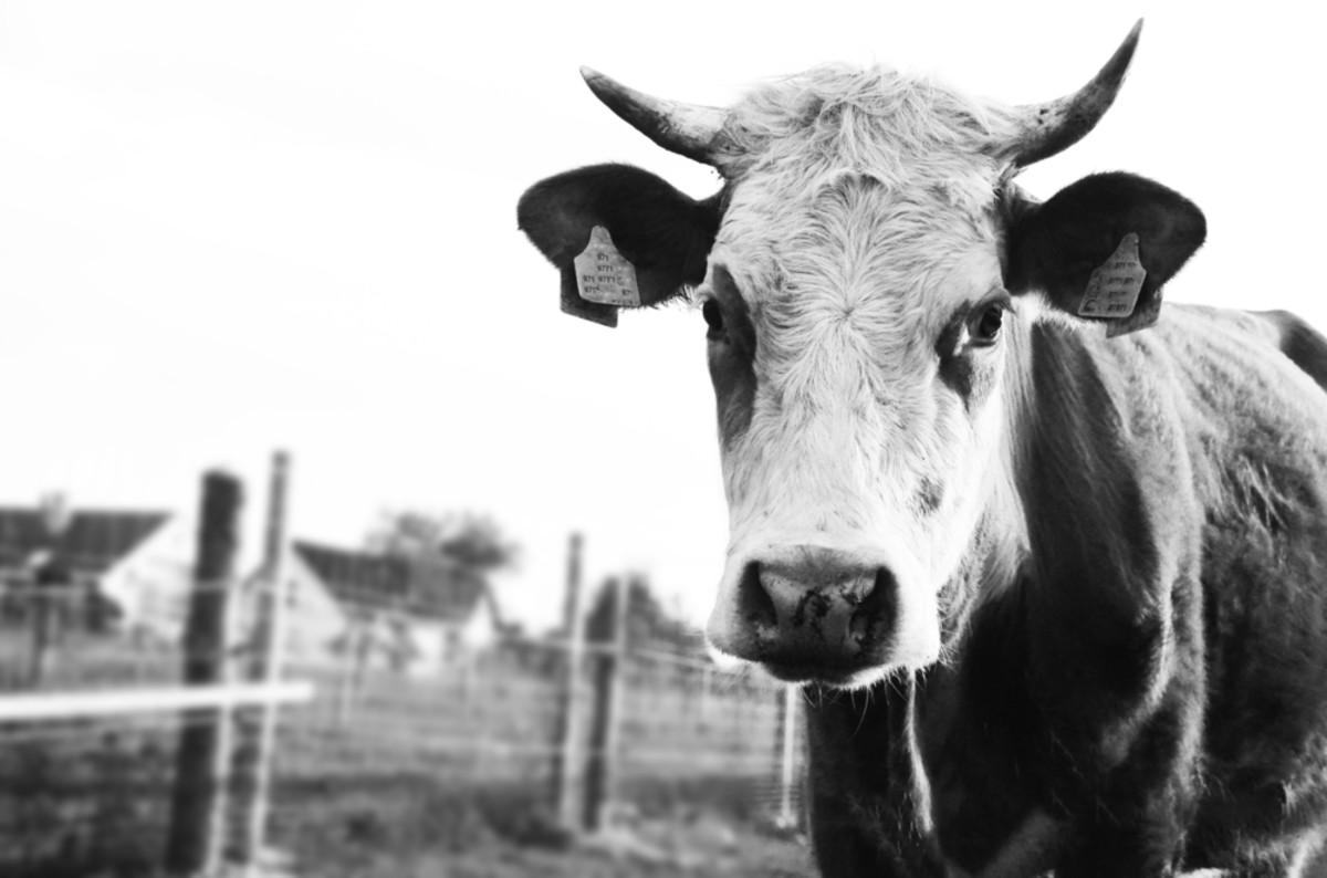 antibiotics in livestock feed double methane gas