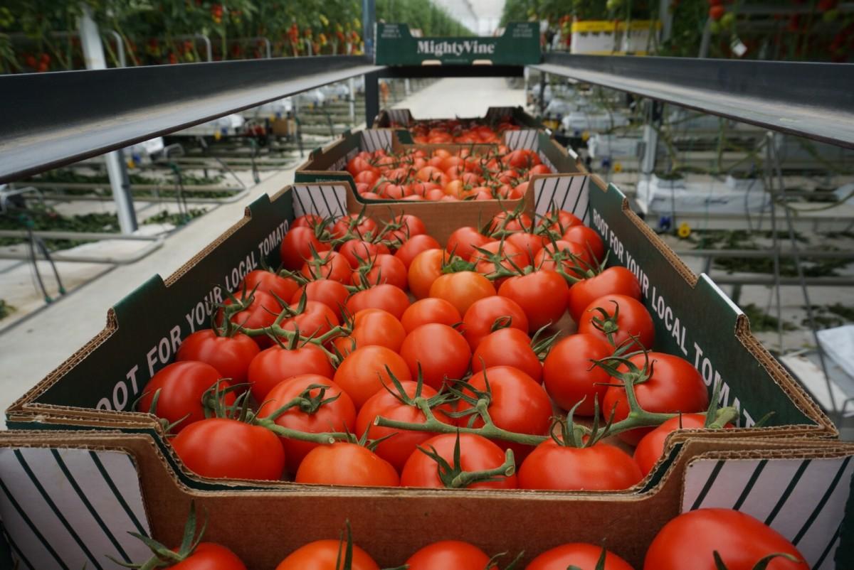 MightyVine Tomato _ 5