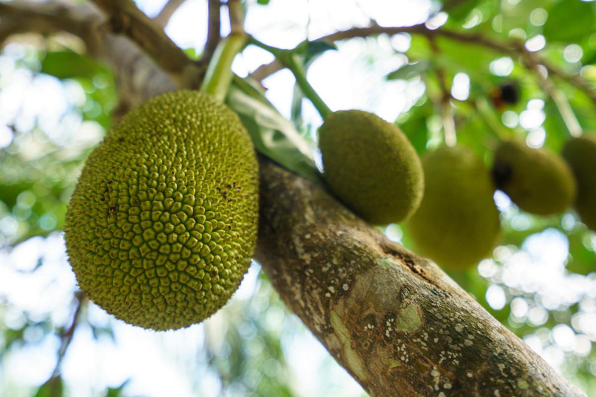 breadfruit pie recipe