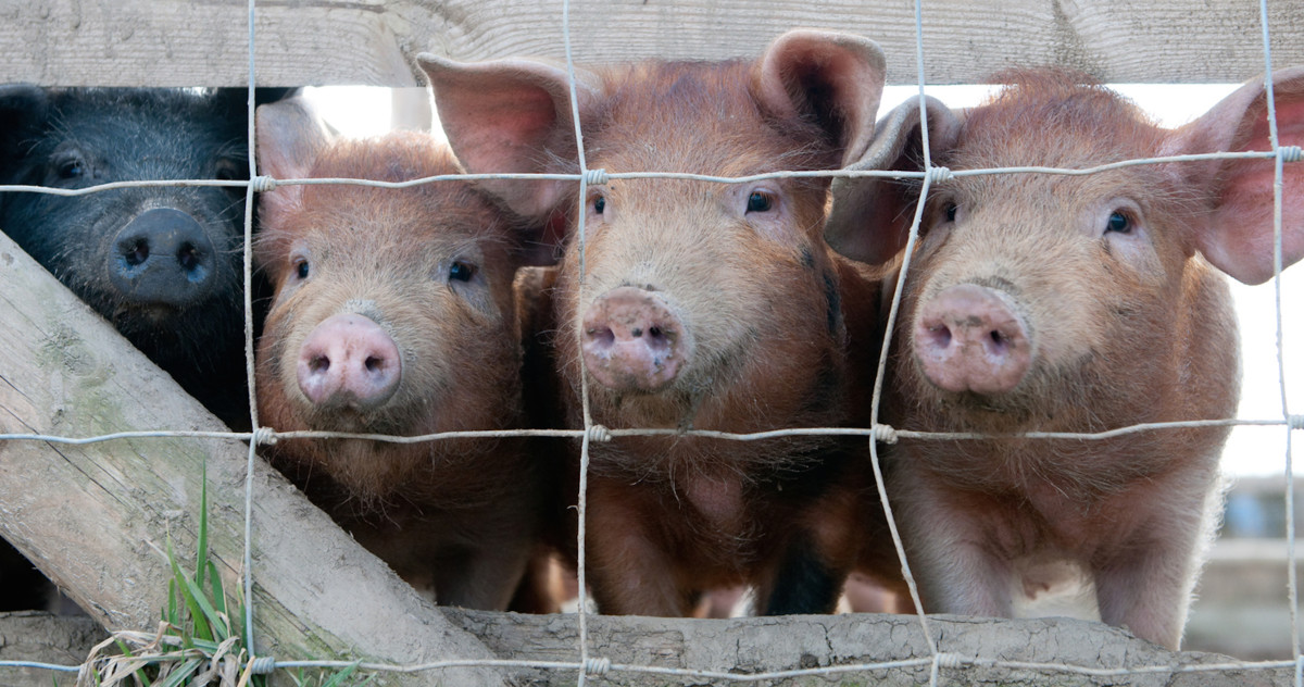The Realities of Factory Farming Completley Misunderstood, New Study Finds