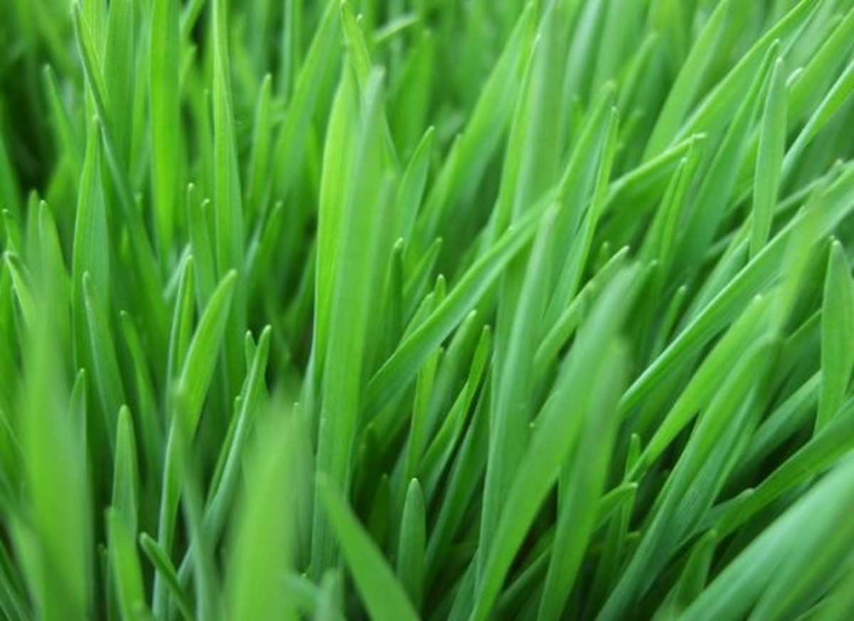 wheatgrass-ccflcr-JamesCridland