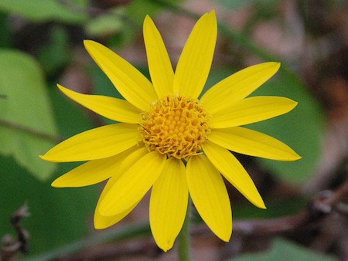 what is arnica? 8 ways to use this plant iin good health, Skeleton