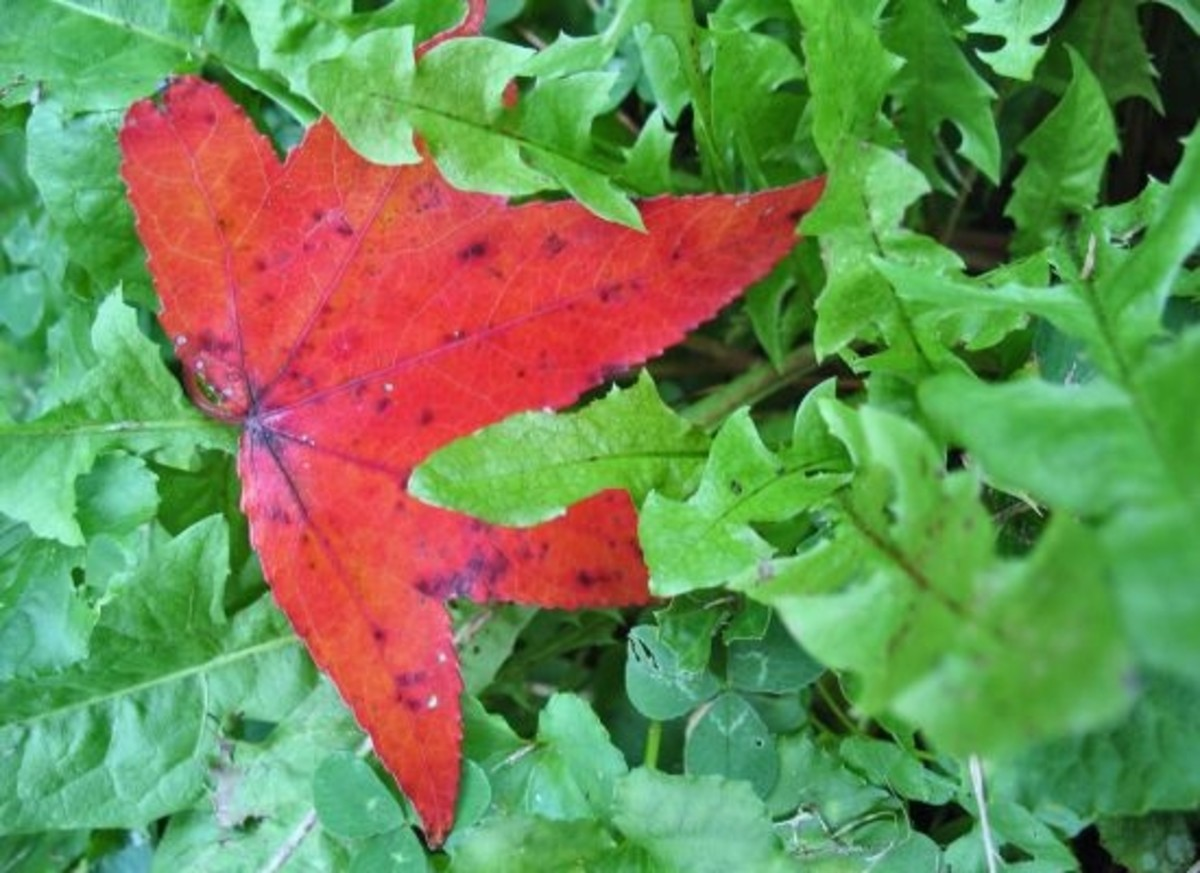 red leaf in lettuce
