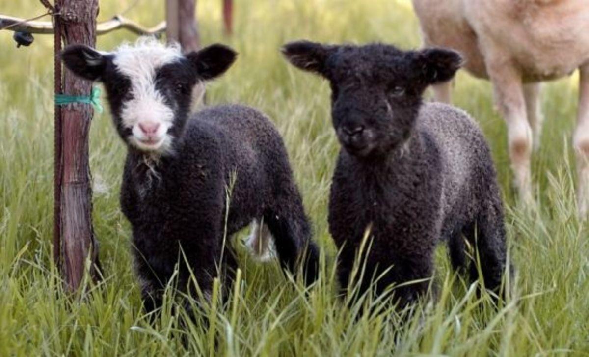 sinskey goats