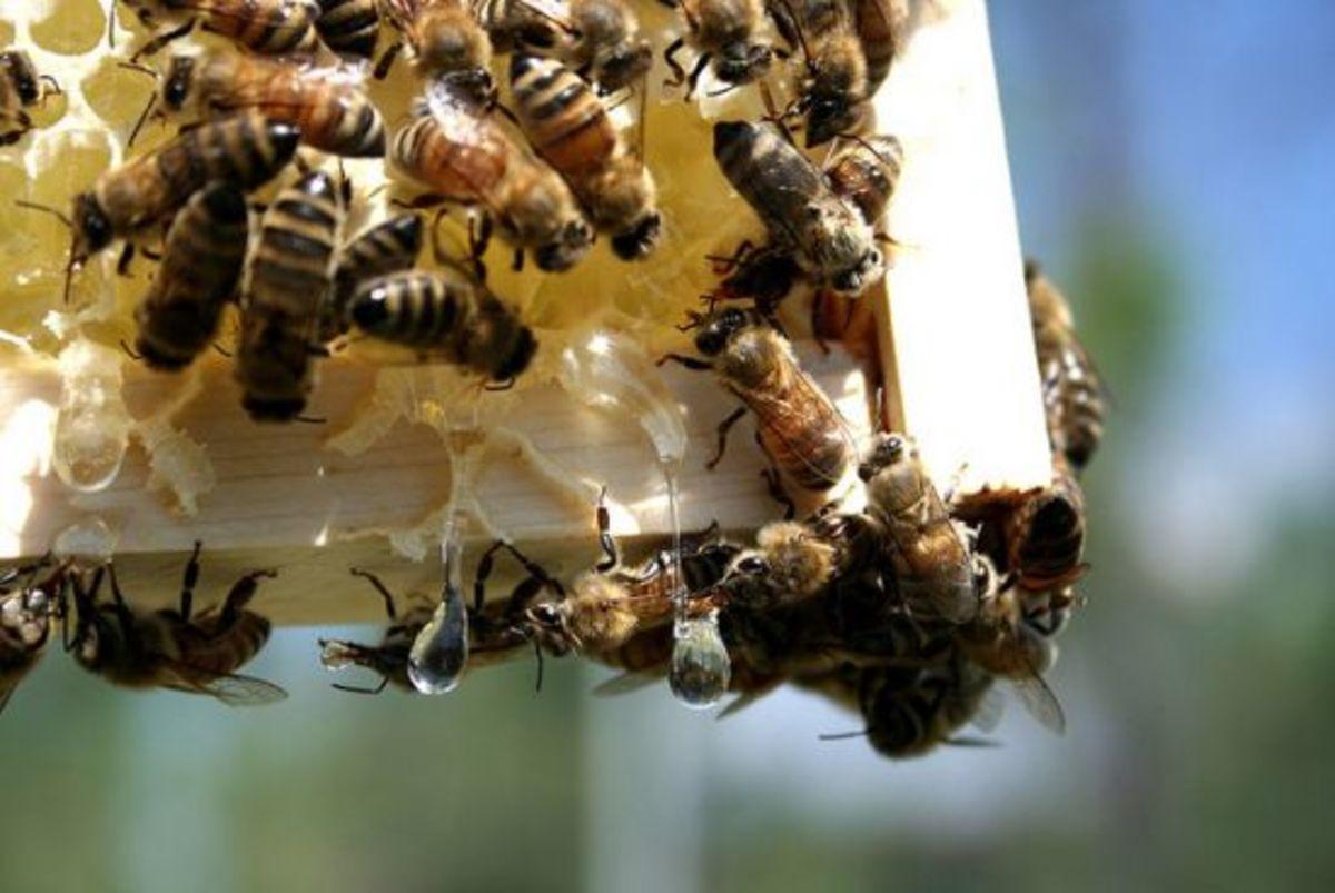 honeybees-ccflcr-moosicorn